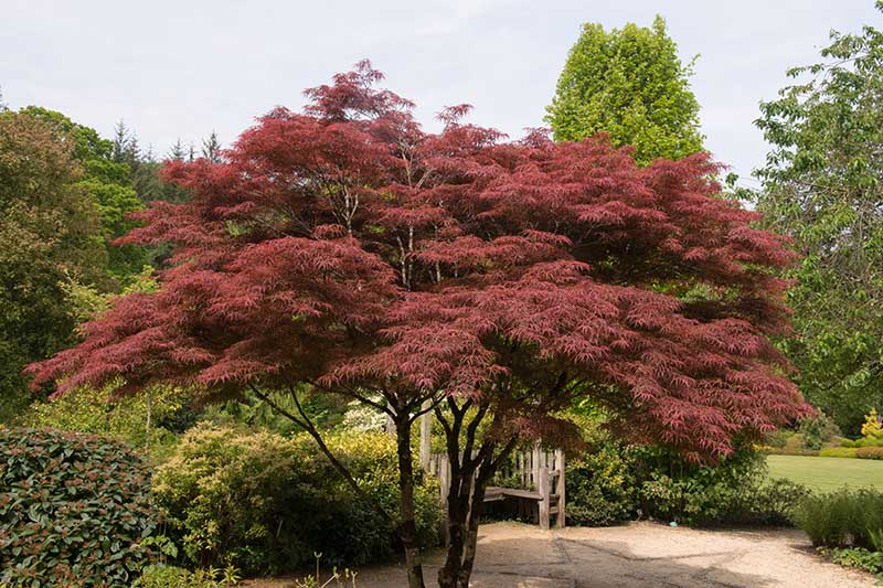 A horizontal image of a Japanese maple tree growing in a formal garden.