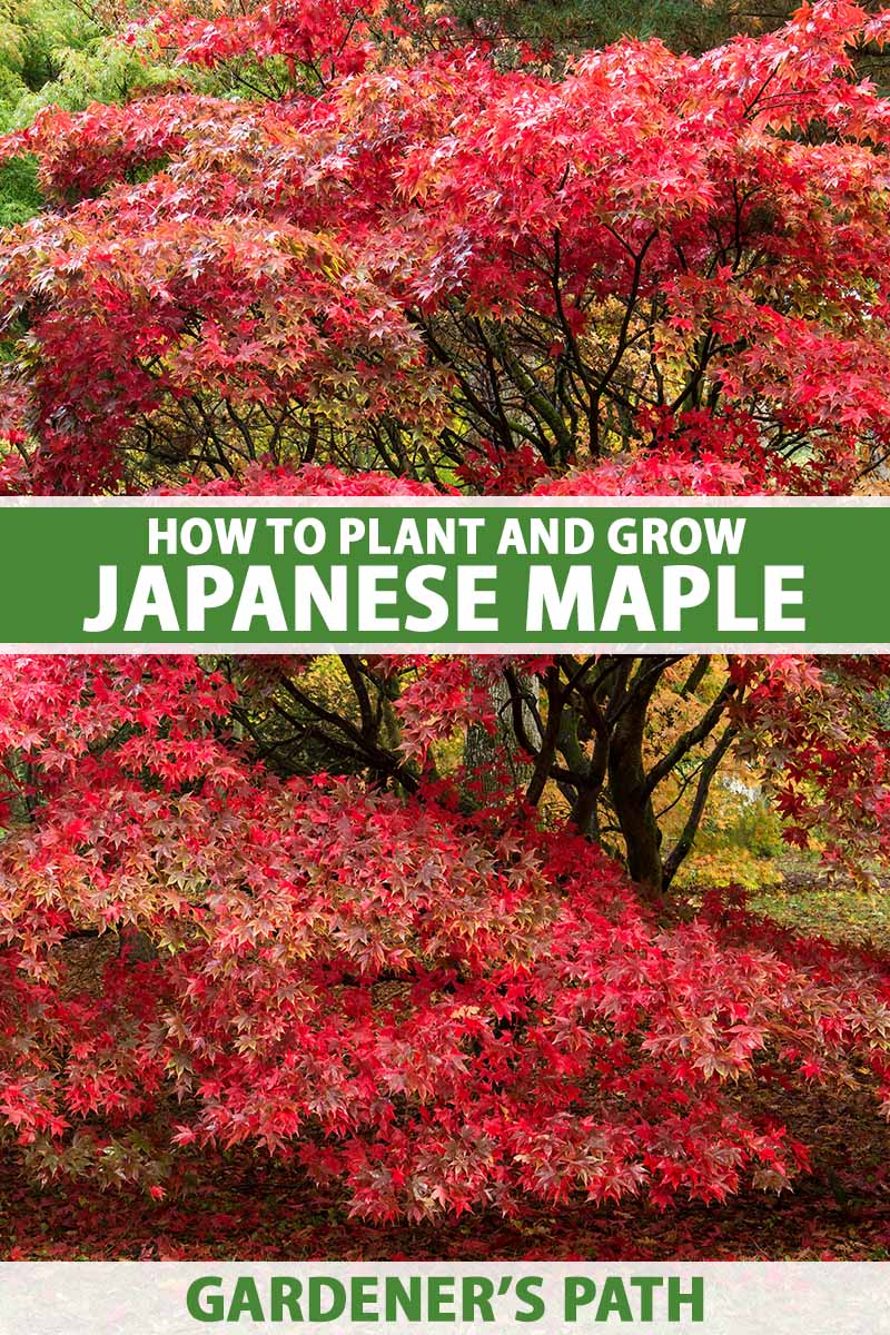 A close up vertical image of a large Japanese maple tree with bright red foliage. To the center and bottom of the frame is green and white printed text.