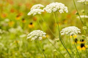 How to Grow and Care for Queen Anne's Lace