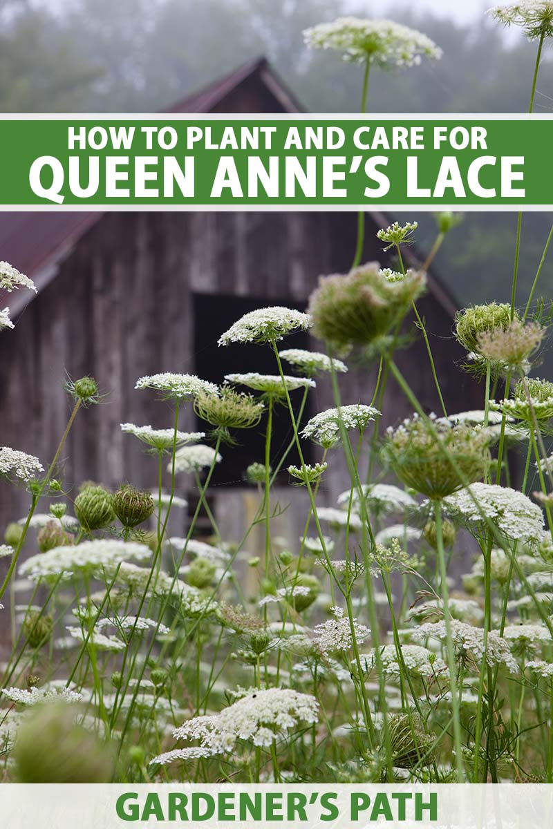A close up vertical image of Queen Anne's lace growing wild outside a wooden barn. To the top and bottom of the frame is green and white printed text.