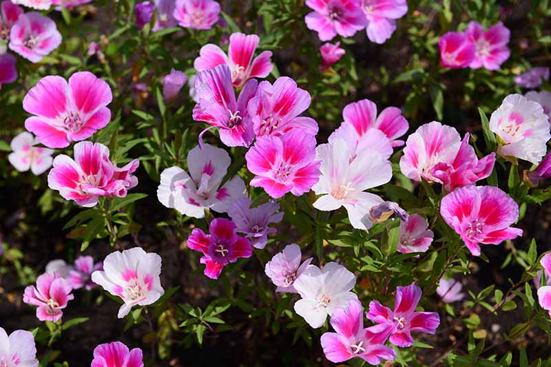 A close up horizontal image of pink, red, and white satin flowers (Clarkia amoena) growing in the early summer garden.