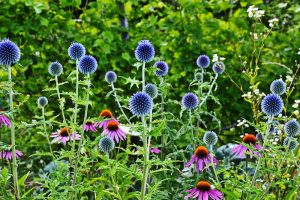 How to Grow and Care for Small Globe Thistle