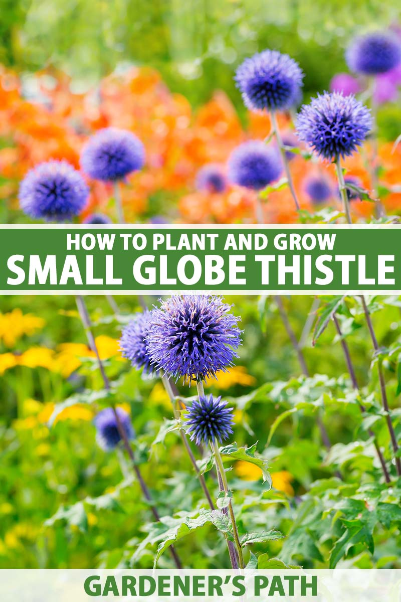 A close up vertical image of small globe thistle (Echinops ritro) growing in a mixed garden border. To the center and bottom of the frame is green and white printed text.