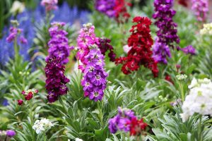 How to Grow Stock: A Cottage Garden Staple