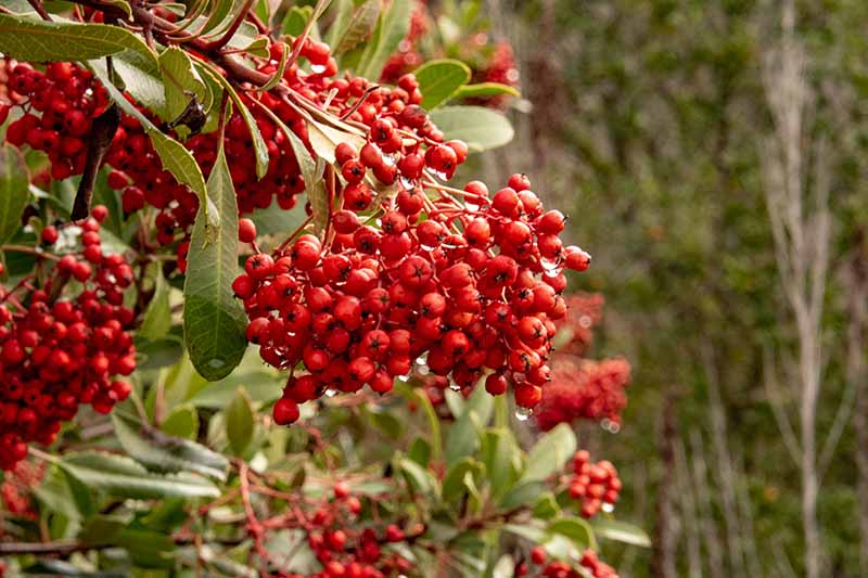 A close up horizontal image of a cluster of bright red berries of California holly (Heteromeles arbutifolia) pictured on a soft focus background.