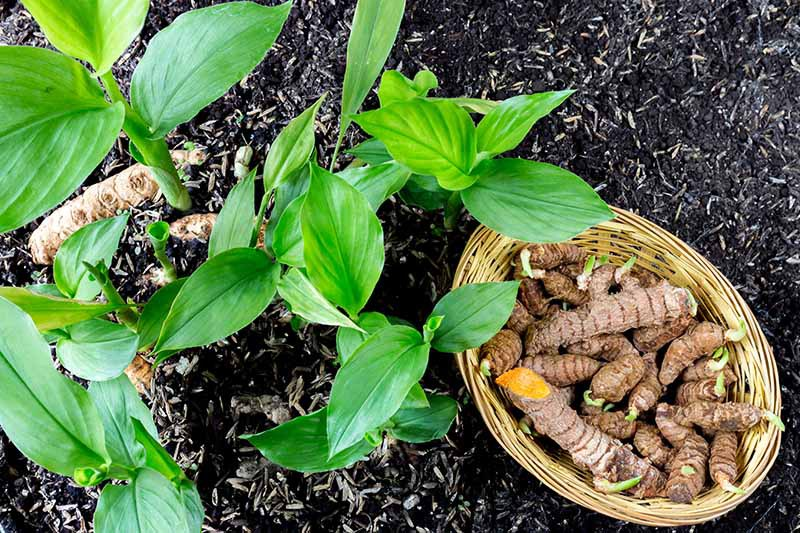 A close up horizontal image of turmeric growing in rich soil with a wicker basket of rhizomes to the right of the frame.