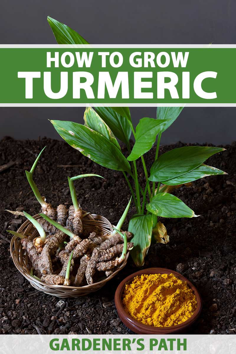 A close up vertical image of a turmeric plant growing in rich soil with a bowl of rhizomes and a bowl of ground spice beside it. To the top and bottom of the frame is green and white printed text.