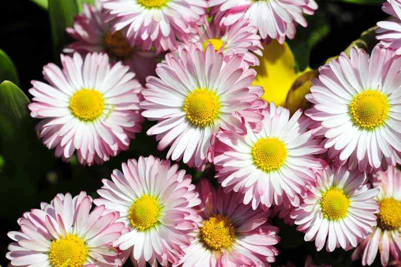 A close up horizontal image of pink and white double petaled Bellis perennis flowers pictured on a soft focus background.