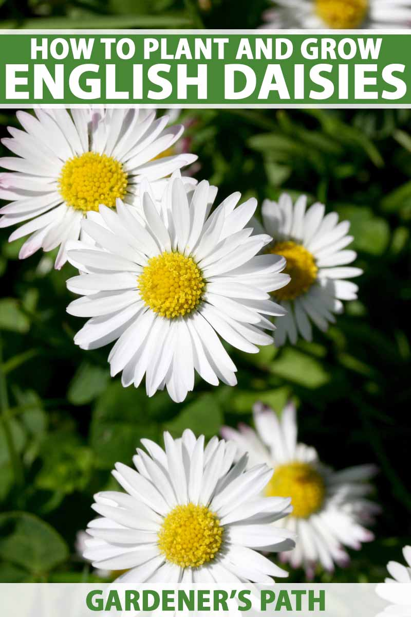 A close up vertical image of white Bellis perennis flowers growing in the garden pictured in light sunshine on a soft focus background. To the top and bottom of the frame is green and white printed text.