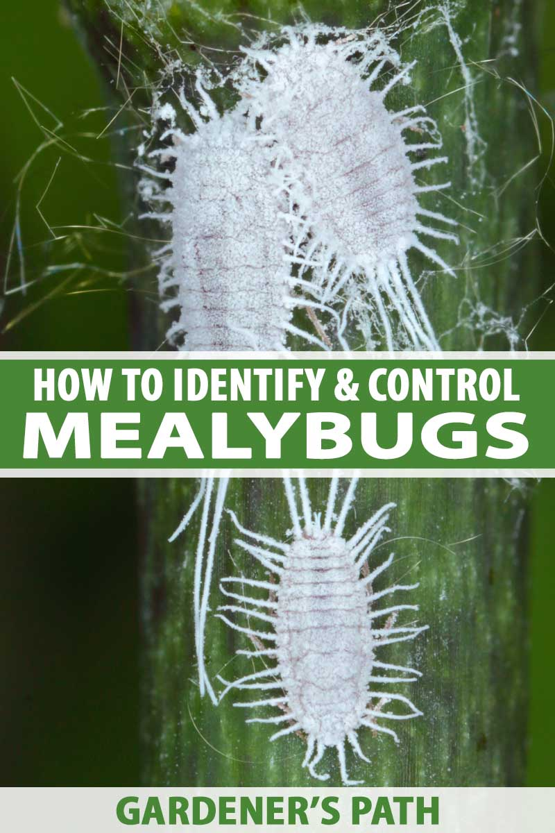 A close up vertical image of mealybugs infesting a stem of a plant. To the center and bottom of the frame is green and white printed text.