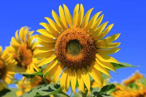 How to Identify and Control Common Sunflower Pests