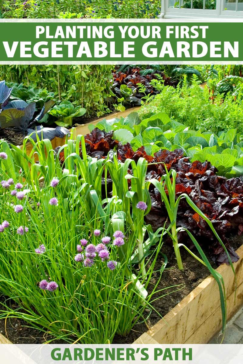 A late spring vegetable garden with lettuces and chives.