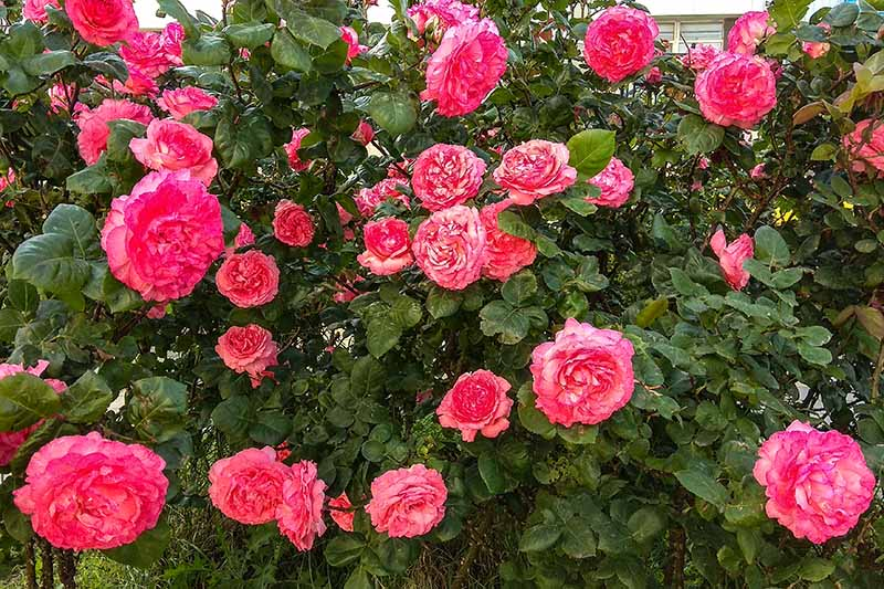 A close up horizontal image of bright pink roses growing in the garden.