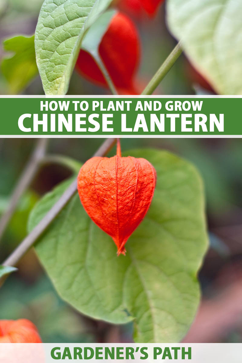 A close up vertical image of a Chinese lantern (Alkekengi officinarum) growing in the garden with bright red fruits pictured on a soft focus background. To the center and bottom of the frame is green and white printed text.