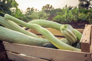 How to Plant and Grow Italian Cucuzza Squash