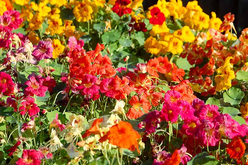 A close up horizontal image of Tropaeolum majus flowers growing in the summer garden.