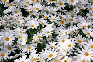 How to Grow and Care for Shasta Daisies