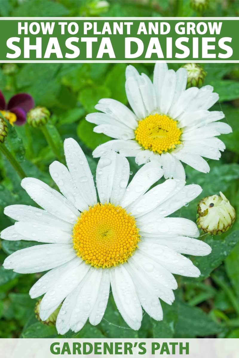 A close up vertical image of Leucanthemum x superbum, aka Shasta daisy flowers growing in the garden. To the top and bottom of the frame is green and white printed text.