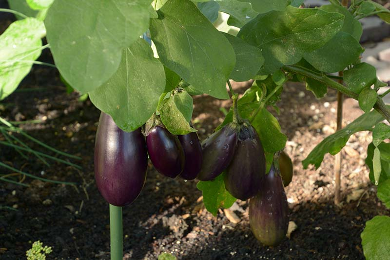 A close up horizontal image of purple eggplants developing on the branch pictured in light filtered sunshine with soil in soft focus in the background.