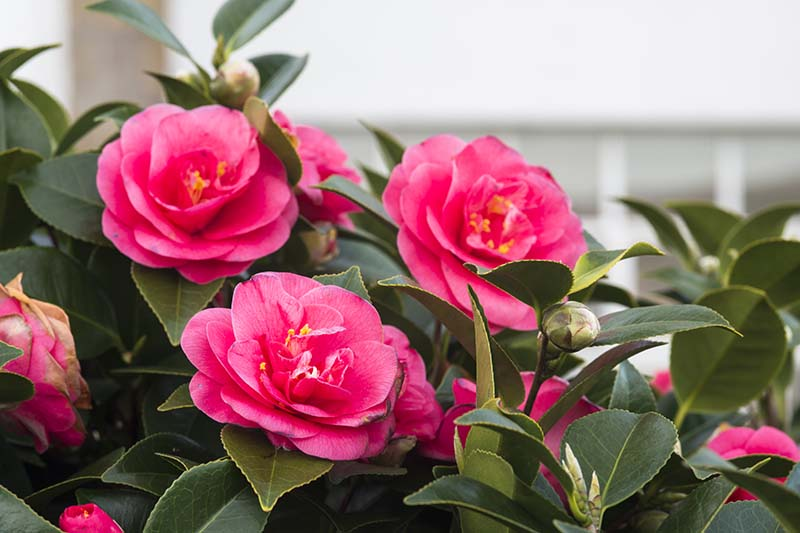 A close up horizontal image of the flowers and foliage of a camellia shrub growing outside a residence.