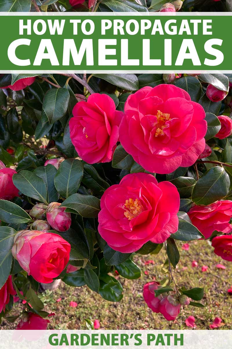 A close up vertical image of bright red camellia flowers contrasting against the dark green foliage. To the top and bottom of the frame is green and white printed text.