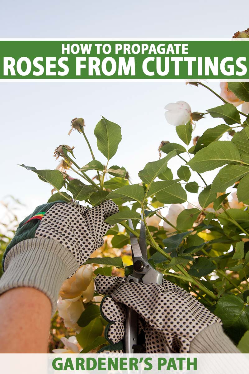 A close up vertical image of two gloved hands holding pruning shears taking cuttings from a shrub pictured on a blue sky background. To the top and bottom of the frame is green and white printed text.