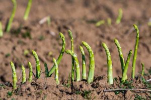 How to Identify and Control Common Asparagus Diseases