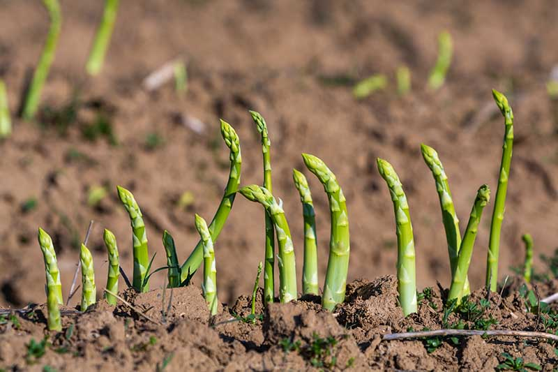 A close up horizontal image of asparagus spears emerging from the ground pictured in bright sunshine.