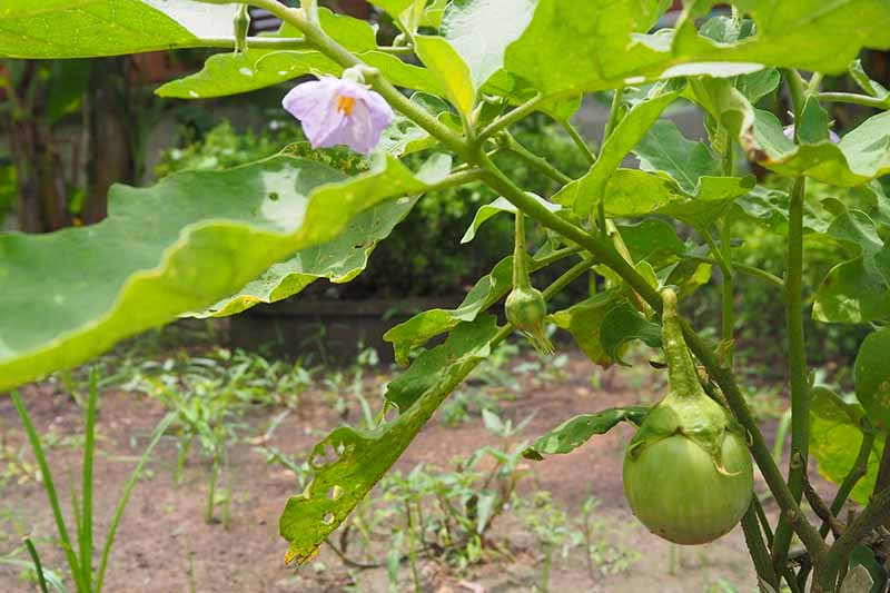A close up horizontal image of an aubergine plant with small immature fruits and a purple blossom growing in a vegetable garden.