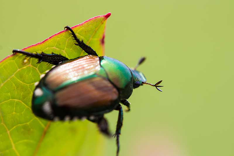 A close up horizontal image of a Japanese beetle on a leaf pictured on a soft focus green background.