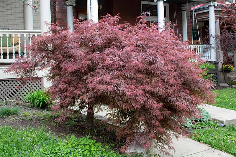 A horizontal image of a small Acer palmatum tree growing in the front yard of a residence.