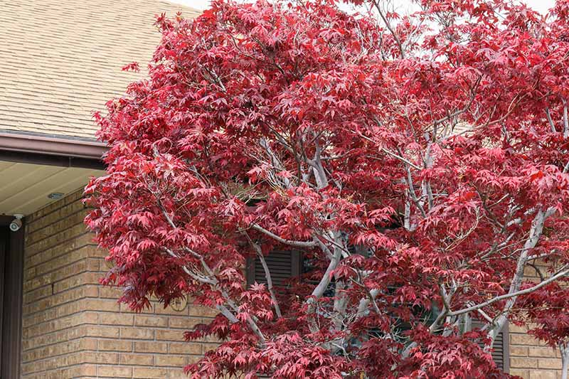 A close up horizontal image of a Japanese maple tree growing outside a brick residence.