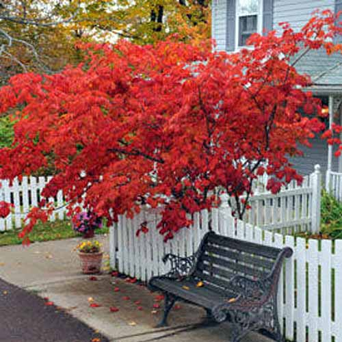 A close up square image of a Japanese red maple tree growing behind a picket fence outside a residence.