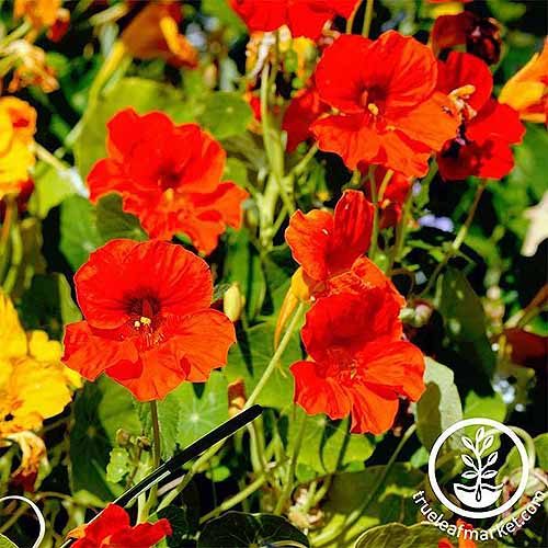 A close up square image of red Tropaeolum 'Jewel' flowers pictured in bright sunshine. To the bottom right of the frame is a white circular logo with text.
