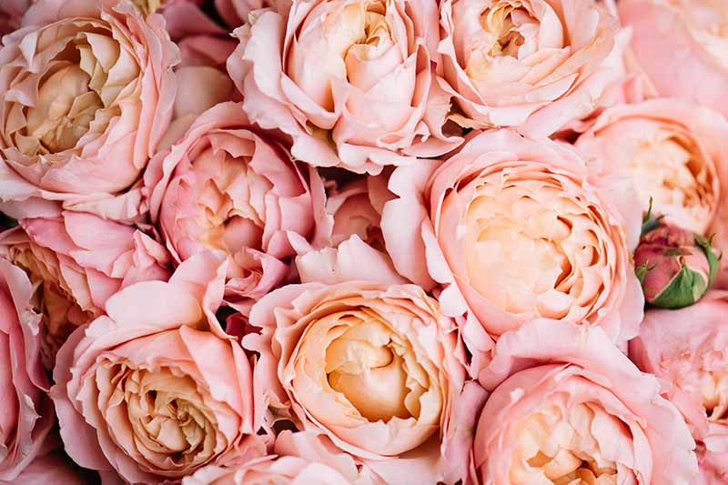 A close up horizontal image of peach and pink David Austin 'Juilet' roses.
