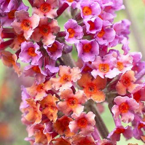 A close up square image of Buddleia 'Kaleidoscope Bicolor' flowers pictured on a soft focus background.
