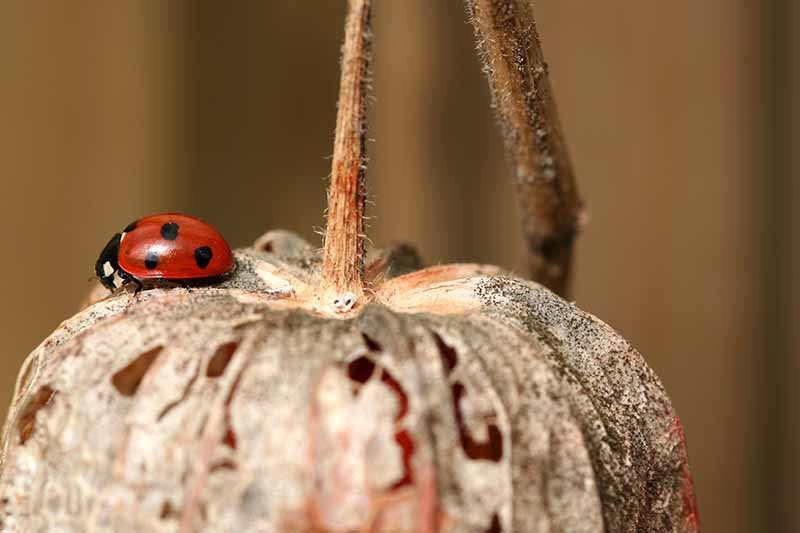 A close up horizontal image of a ladybug sitting on a Alkekengi officinarum fruit pictured on a soft focus background.