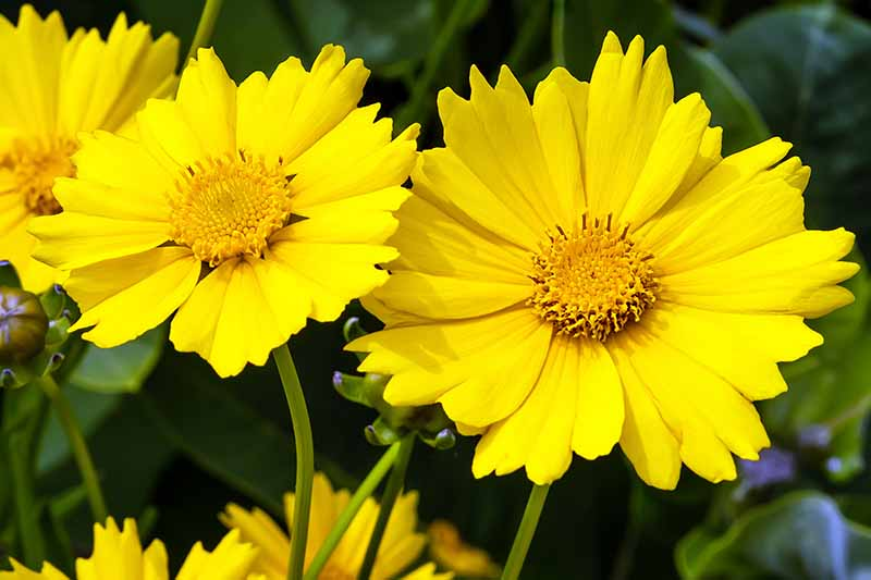 A close up horizontal image of bright yellow lanceleaf coreopsis flowers growing in the garden pictured on a soft focus background.