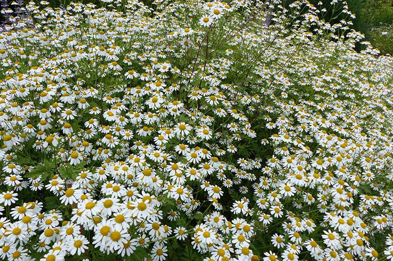 A close up horizontal image of a large swath of feverfew (Tanacetum parthenium) with yellow flowers growing in the garden.