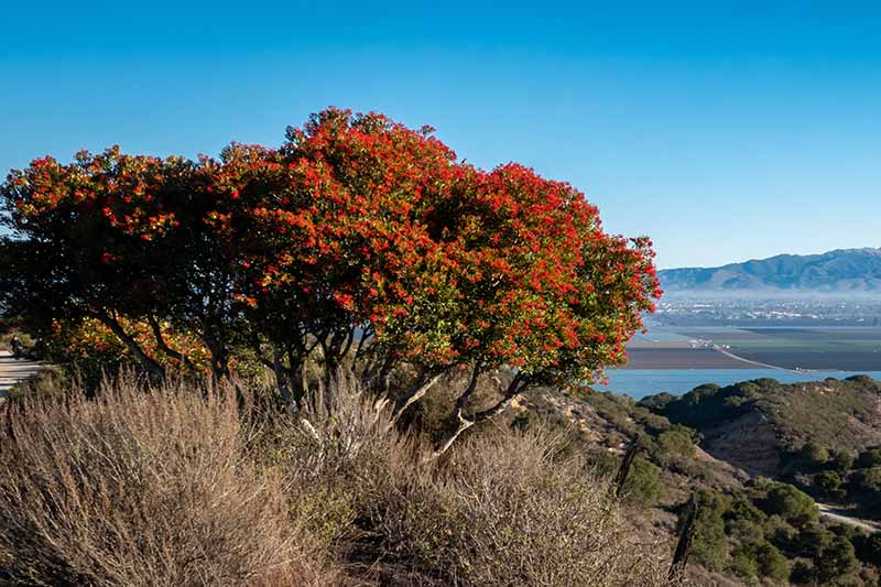 A horizontal image of a large toyon (Heteromeles arbutifolia) shrub growing by a lake with mountains and blue sky in the background.