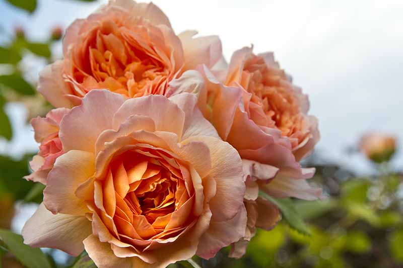 A close up horizontal image of orange leander roses growing in the garden pictured on a soft focus background.