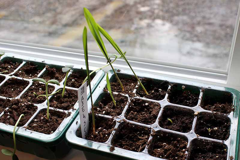A close up horizontal image of seedlings in starting cells growing on a windowsill.