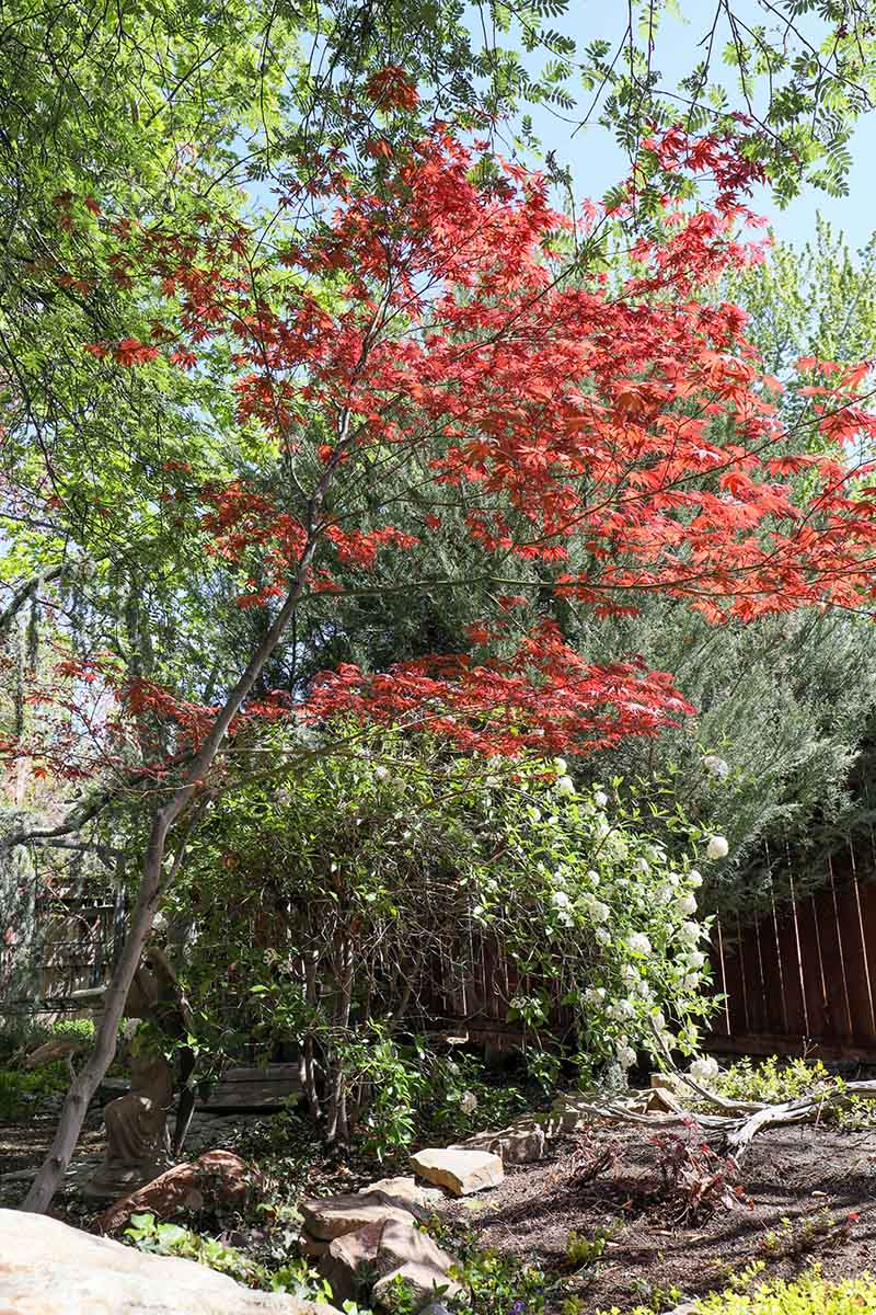 A close up horizontal image of a large, leggy Japanese maple tree growing in the garden.
