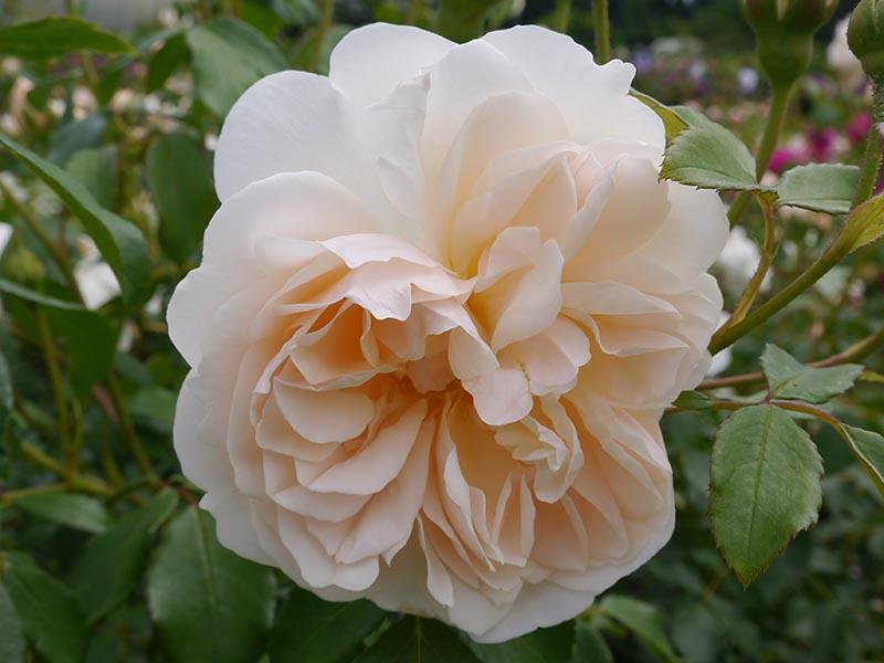 A close up horizontal image of 'Lichfield Angel' English rose.