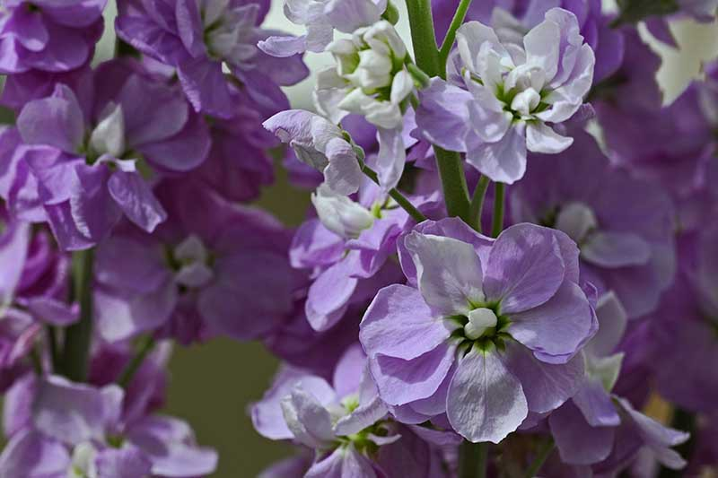 A close up horizontal image of light purple and white stock flowers (Matthiola incana) growing in the garden.