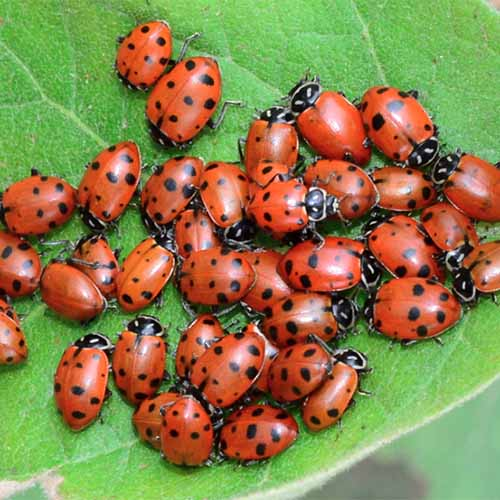 A close up square image of live ladybugs on a green leaf.