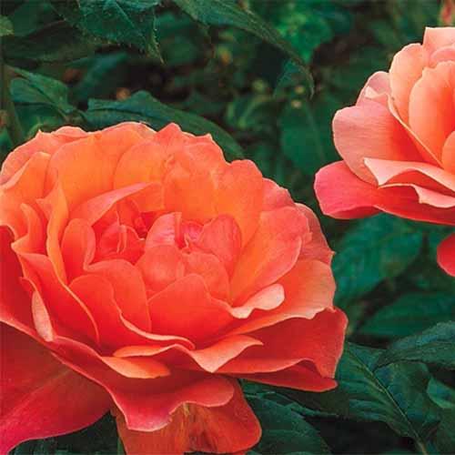 A close up square image of bright orange 'Living Easy' floribunda roses pictured on a soft focus background.