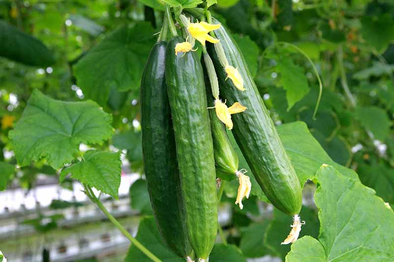 Add Cooling Crunch to Your Cuisine All Season: How to Grow Cucumbers