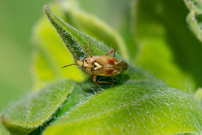 A close up horizontal image of a Lygus bug on a leaf pictured on a soft focus background.