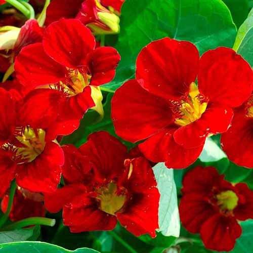 A close up square image of bright red 'Mahogany Gleam' nasturtium flowers pictured in bright sunshine.